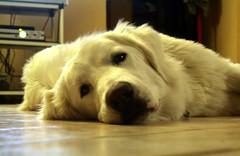 Nuvola (Mino Polverino) Tags: cane nuvola pastore abruzzese