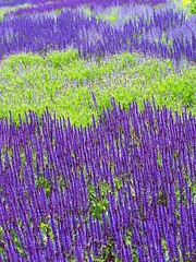 A field of fantastic! (AGreatEuropeTripPlanner!) Tags: flowers chicago flores nature fleurs catchycolors purple blumen salvia millenniumpark fiori fiore shiningstar bloemen blhen awesomeshot luriegardens depertinho 3faves clik bloeien florecen bigfave fioriviola guardaminegliocchi colorphotoaward blueribbonphotography yourbestshot heartawards purplesalvia diamondstars flickrestrellas florescem crazyaboutnature rubyphotographer awesomeblossoms coloridocolor flickrpopularphotographer artofimages juliesgalleryofnature floresprpuras artofflowers allaboutflowers geographyofphotography gardensandcountryside bestcapturesaoi roxofloresce purperebloemen purpurneblumen violetfleurs