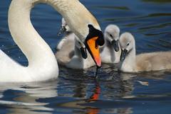 What's There, Mum? (Matt_Daniels) Tags: swan signet d40x