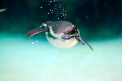 Bubbles (toshi.panda) Tags: 50mm aquarium nikon nikond50 nikkor  kasai  50mmf14d aiafnikkor50mmf14d