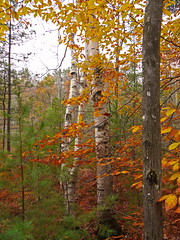 Birch Triplets (jimflix!) Tags: autumn trees white tree fall nature colors forest woods natural outdoor michigan fallcolors scenic panasonic trail pines birch birchtrees lakeann whitebirch benzie outdoorbeauty scenicmichigan fz18 scenicsnotjustlandscapes ransomlake jimflix