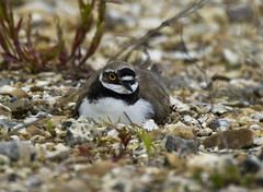 Brooding (Chalto!) Tags: bird sitting little hampshire newforest plover ringed wader hwt blashford 15challengeswinner