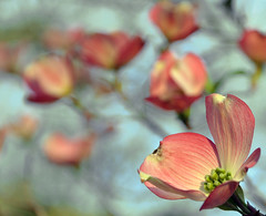 dogwood blossoms [explore FP ... TY!] (Wils 888) Tags: flowers flower macro tree nature lens interestingness nikon dof blossom bokeh blossoms explore dogwood nikkor fp frontpage d90 18105mm nikond90