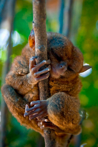 tarsier-philippines-12 by you.