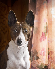 "3.12a Raisin ""Daylight Savings Raisin"" (jezandia) Tags: dog basenji raisin ldlportraits 12monthsfordog14"