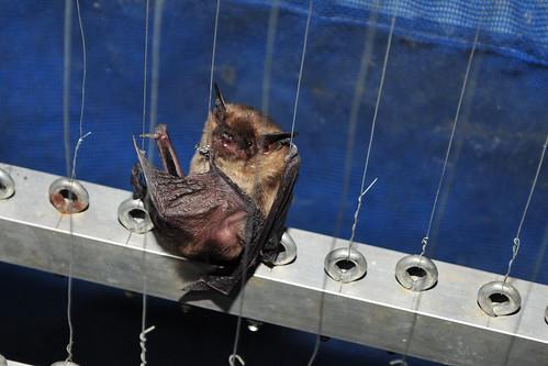 Big Brown Bat in Harp Trap