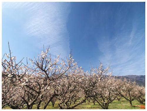 Japanese Apricot Farm 090228 #03