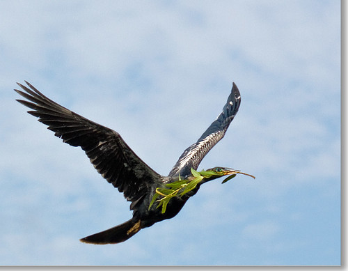 The Anhinga of Peace