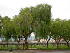 livermore pepper trees