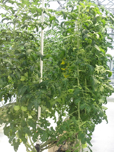 Geothermal Hydroponic Tomatoes