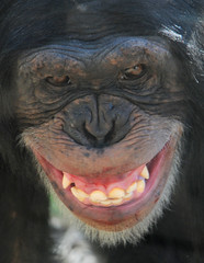 "Say ""Cheeese!"" (ucumari) Tags: mammal march chimp chimpanzee 2009 nczoo blueribbonwinner mywinners ucumariphotography"