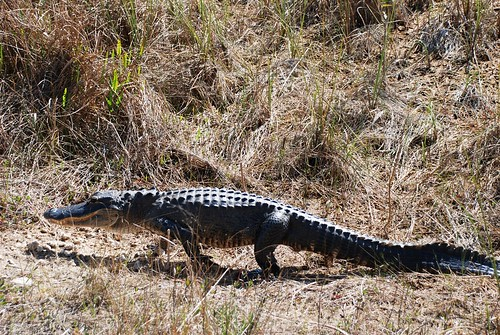 Gator walk