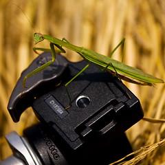 always bring a tripod to a shoot (M3R) Tags: macro green animal insect indonesia tripod grasshopper hay westjava prayingmantis manfrotto sentul ballhead canonef70200mmf4lisusm gapfeb2011