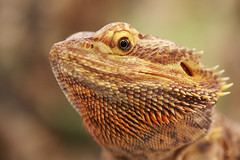 Portrait of a bearded dragon (tom.wright) Tags: portrait orange brown macro green eye yellow beard dragon reptile watching lizard beardeddragon tomwright pogonavitticeps canonefs60mmf28macrousm ccmac copyright2009