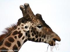 Mouthful (visionthing64) Tags: animal giraffe safaripark knowsley merseyside