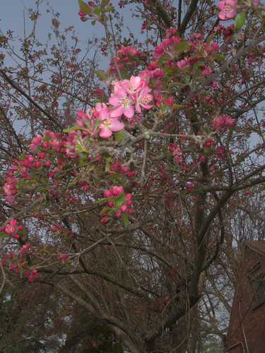 Crabapple Tree on March 21, 2009