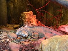 Iguana (Sir Willy) Tags: africa italy canon eos zoo italia iguana tuscany afrika toscana 28135 animali pistoia 40d zoodipistoia canoniani sirwilly