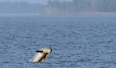 Irrawaddy dolphin jumps