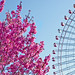 sakura and ferris wheel 2009 par showbizsuperstar