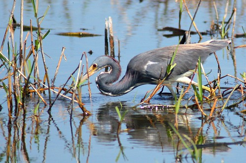 Tricolored Heron - 3/16/2009