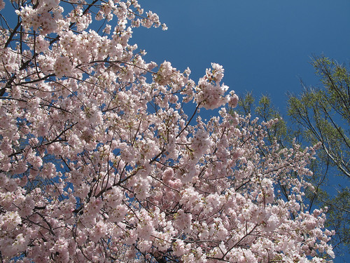 More Cherry Blossoms