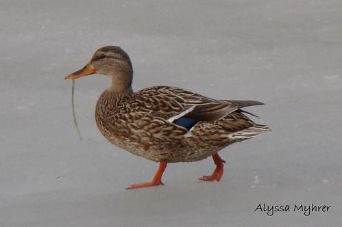 Male and female mallard duck - photo#24