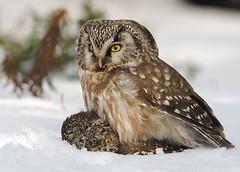 Helmipöllö (mattisj) Tags: bird explore owl borealowl birdwatcher pygmyowl lintu naturesfinest aegoliusfunereus tengmalmsowl glaucidiumpasserinum helmipöllö varpuspöllö specanimal saalis avianexcellence vosplusbellesphotos