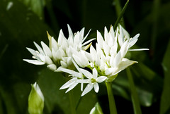 wild garlic / daslook (friedkampes) Tags: flower d50 garden wildgarlic alliumursinum daslook friedkampes