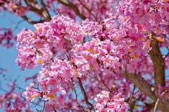 Spectacular Color (Jim Frazee) Tags: pink fab soe sandiegowildanimalpark potofgold trumpettree tabebuiaheterophylla mywinners abigfave diamondclassphotographer theperfectphotographer