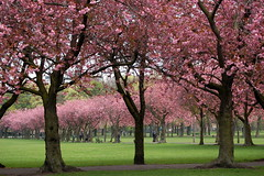 La Vie en Rose (onceawildchild) Tags: trees scotland spring edinburgh april cherryblossom 2009 themeadows lunchtimewanderings vanagram