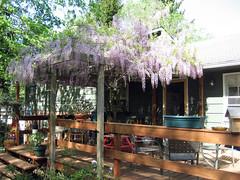 lauren's gorgeous wisteria
