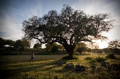 "105 |reposting this wonderful oak ... ( ""This tree is mine!"" ) (Teresa Teixeira) Tags: light tree portugal nature oak earth lara alentejo sobreiro nationaltree teresateixeira larazee rvorenacional rvorenacionaldeportugal"