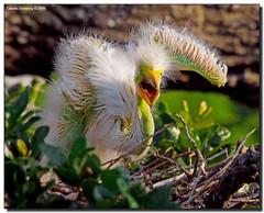 MOM!!! (Fraggle Red) Tags: baby bird nature raw nest florida bigma wildlife chick handheld egret staugustine greatwhiteegret ardeaalba alligatorfarm breedingseason sigma50500mmf463exapo specanimal avianphotography avianexcellence picturefantastic stjohnsco adobelightroom22