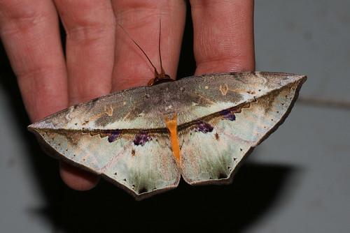 Hexamitoptera lawinda