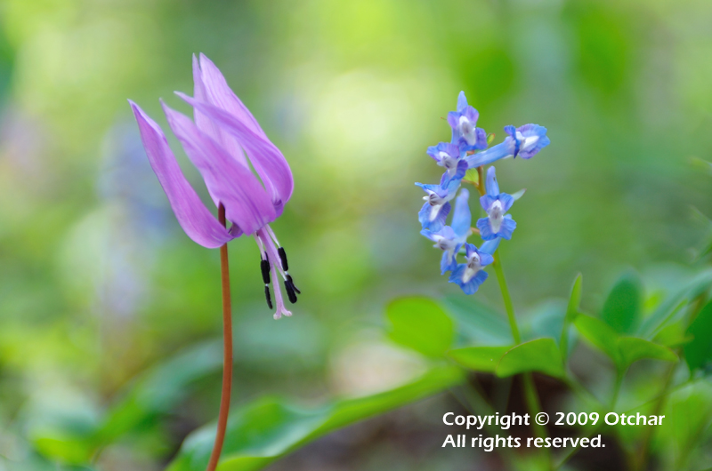 Fawn Lily and Corydalis Tuber