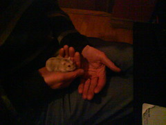 Toby in my dad's hands (ikieran97) Tags: toby hamsters