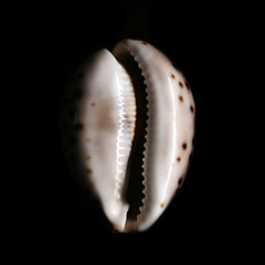 shell (Francesco Bartaloni) Tags: sea italy stilllife black florence still italia mare shell firenze nero conchiglia naturamorta bartaloni francescobartaloni frankbb