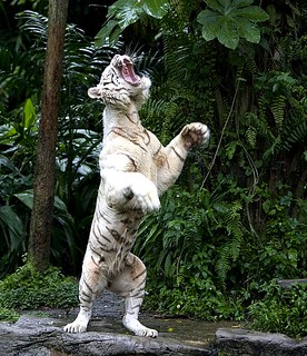 White Tiger on hind legs