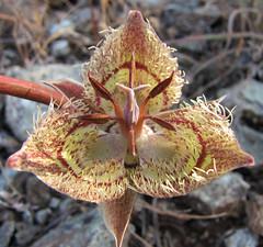 calochortus mugshots (randomtruth) Tags: california brown green yellow marincounty tiburon liliaceae calochortus tiburonmariposalily 3petals calochortustiburonensis ringmountainpreserve