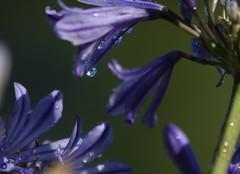 drop (Lallyna ) Tags: flowers blue flower verde drops blu fiori fiorellini goccie