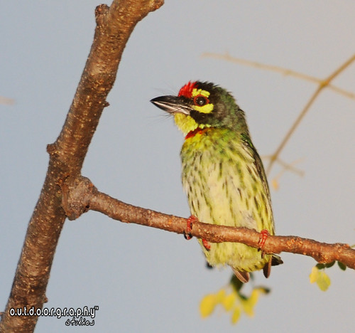 A very noisy Barbet :P
