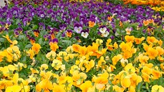 Mixed Green House Pansies (1) (Kaz Andrew) Tags: flowers floral pansy greenhouse pansies mixedflowers bedofflowers khulmans