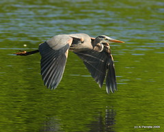 In Flight- Great Blue Heron - Al Perrette