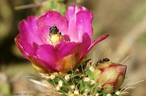 Canon Colorado - Royal Gorge - Bee and ants on cactus