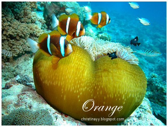 Cairns: Orange Finned Anenome Fish