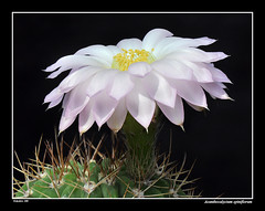 Acanthocalycium spiniflorum (david_phil) Tags: flowers cactus plants cacti spines acanthocalycium spiniflorum