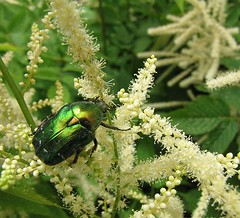 Can I pretend to be a leaf? (Totallyme) Tags: flowers summer white green metallic beetle
