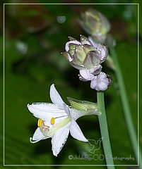 Remembering the flowers of summer (Child of the King Photography) Tags: flower green leaves yellow petals lavender stems raindrops buds hosta allrightsreserved ourgardens childofgodphotography