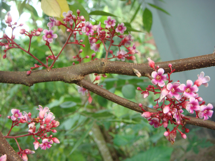Kamranga Flower