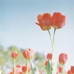 *twins (fangchun15) Tags: flower 120 6x6 film nature japan tulips kodak bronica yamanashi s2 鬱金香 チューリップ portra400 bronicas2 ハイジの村